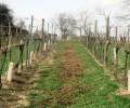drevo-vinice