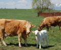 dojciace_kravy