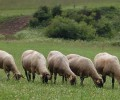 dojne_ovce
